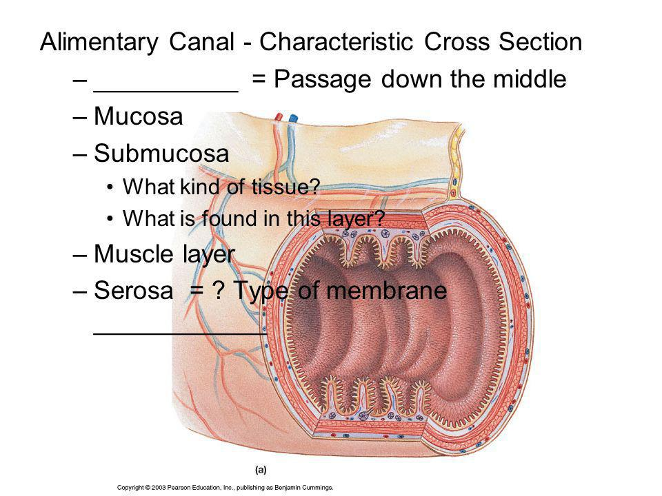 Alimentary Canal - Characteristic Cross Section