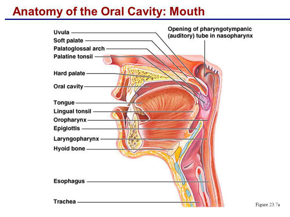 Anatomy of the Oral Cavity: Mouth
