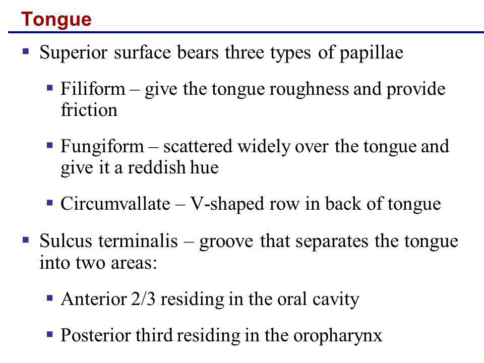 Superior surface bears three types of papillae