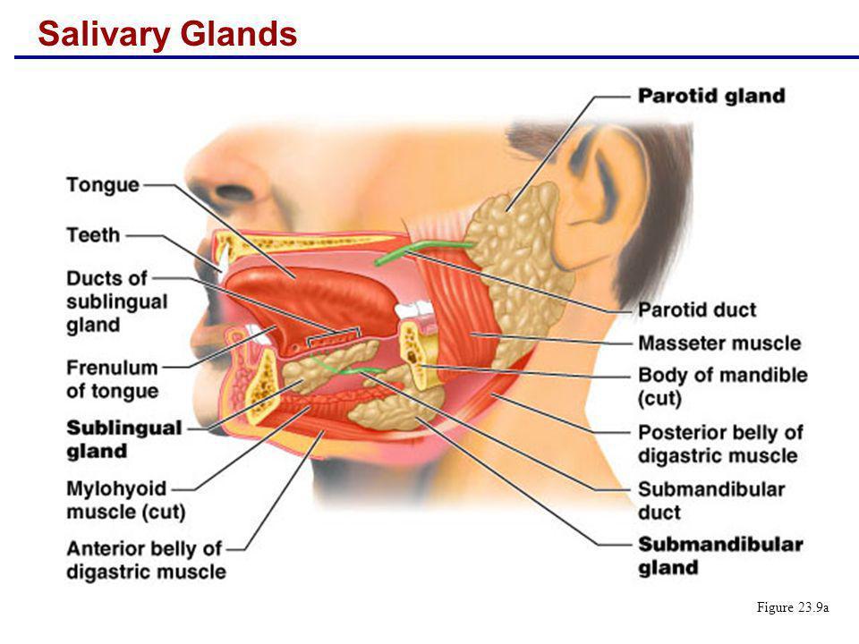 Salivary Glands Figure 23.9a