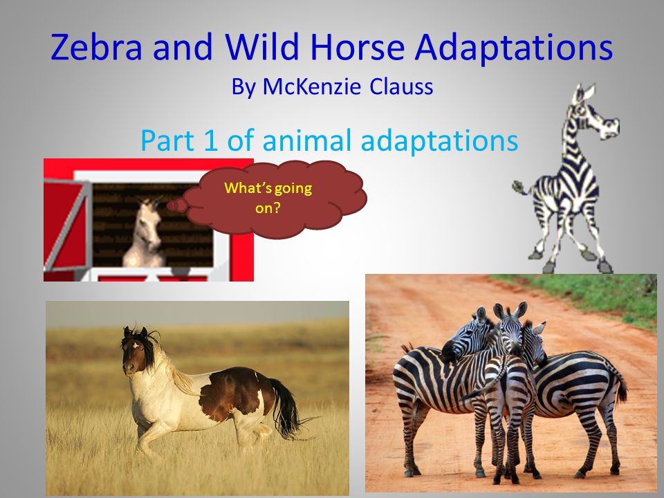 Zebra and Wild Horse Adaptations By McKenzie Clauss