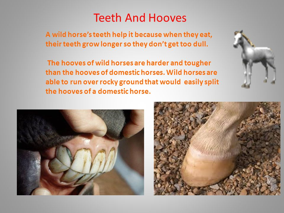 Teeth And Hooves A wild horse's teeth help it because when they eat, their teeth grow longer so they don't get too dull.