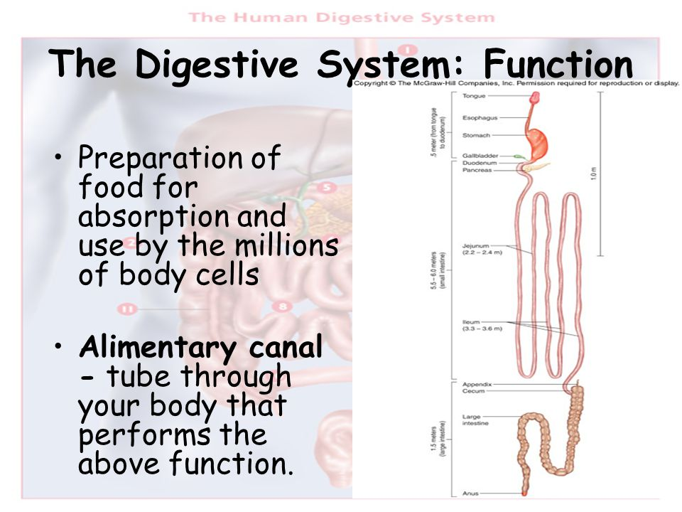 the digestive system. - ppt download, Human Body