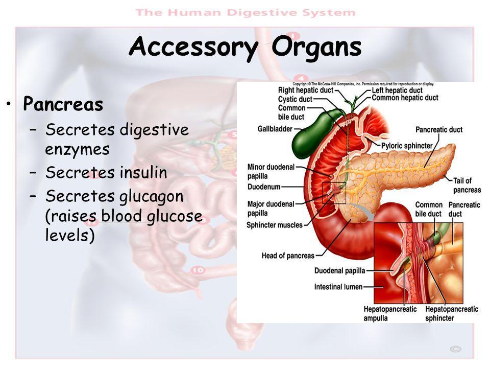 Accessory Organs Pancreas Secretes digestive enzymes Secretes insulin