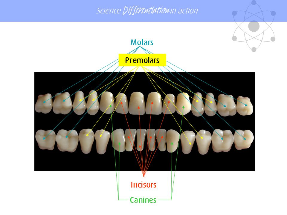 Molars Premolars Incisors Canines