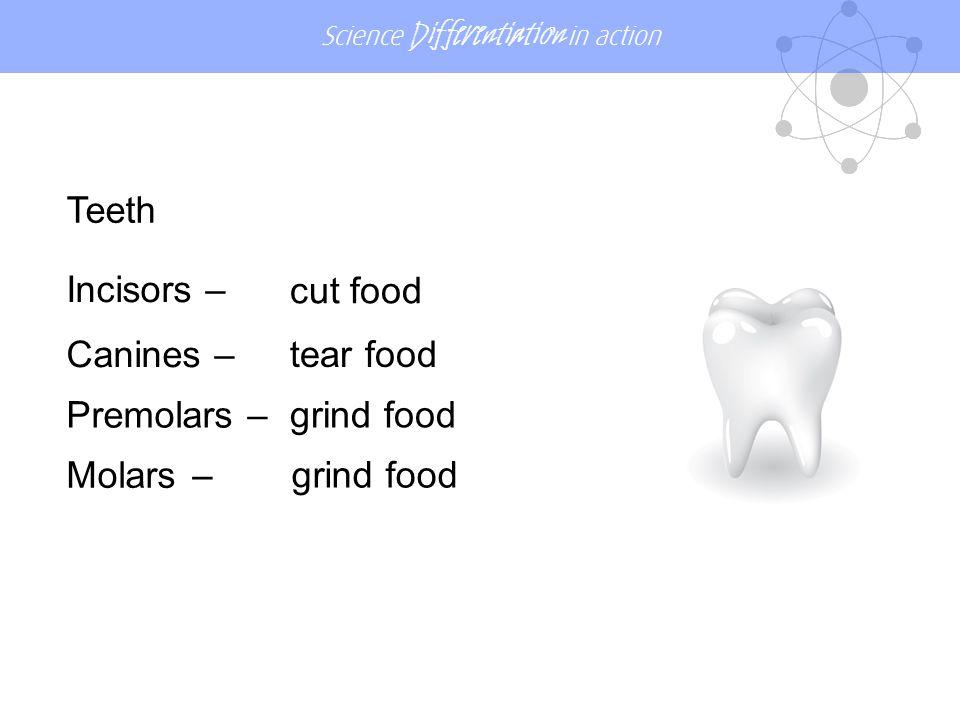 Teeth Incisors – cut food Canines – tear food Premolars – grind food Molars – grind food