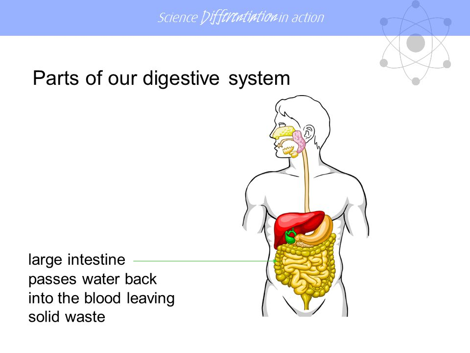 Parts of our digestive system
