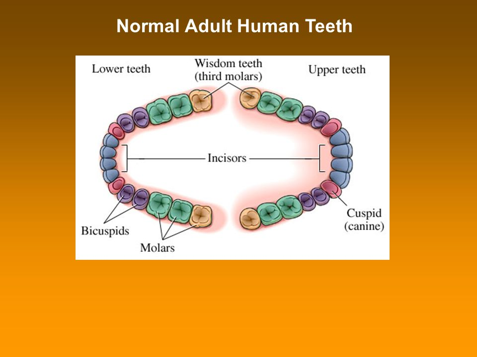 Normal Adult Human Teeth