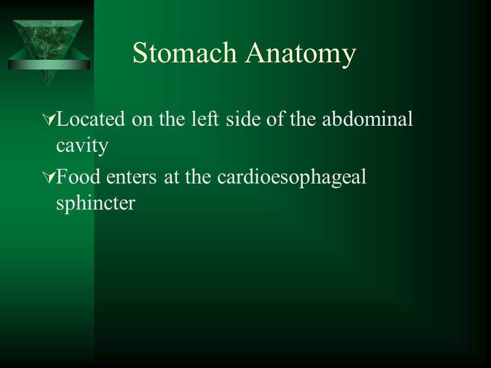 Stomach Anatomy Located on the left side of the abdominal cavity