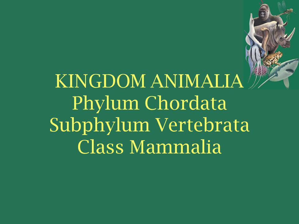KINGDOM ANIMALIA Phylum Chordata Subphylum Vertebrata Class Mammalia
