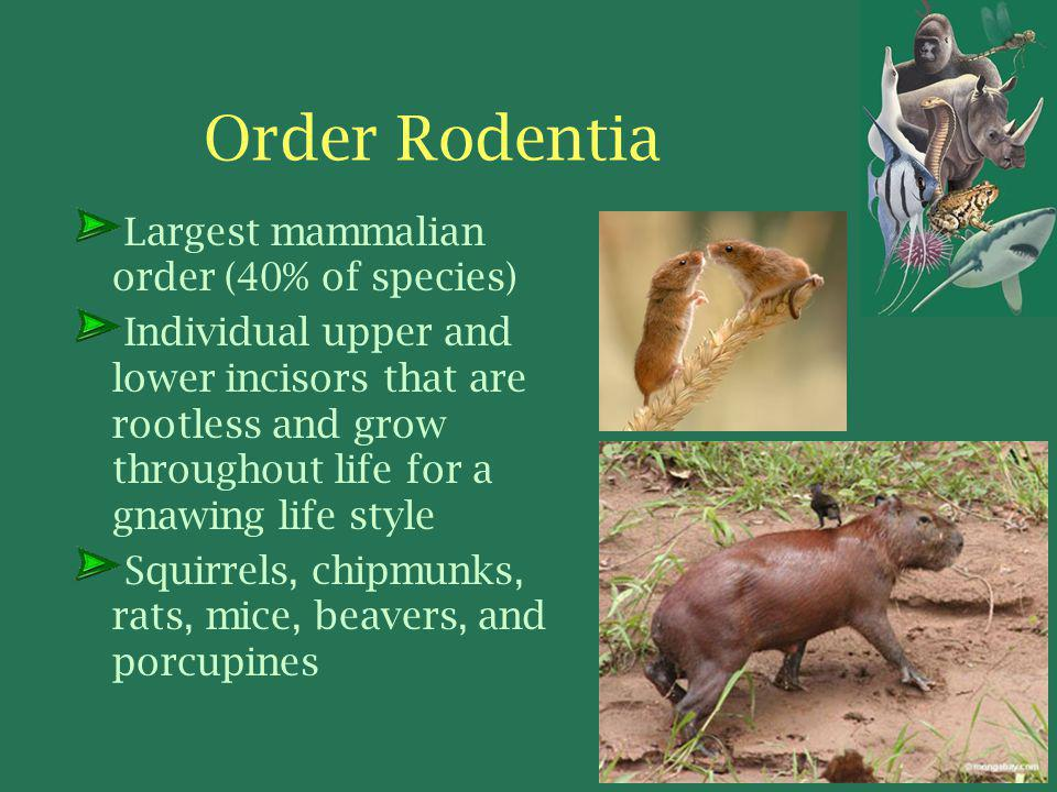Order Rodentia Largest mammalian order (40% of species)