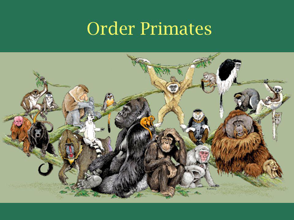 Order Primates