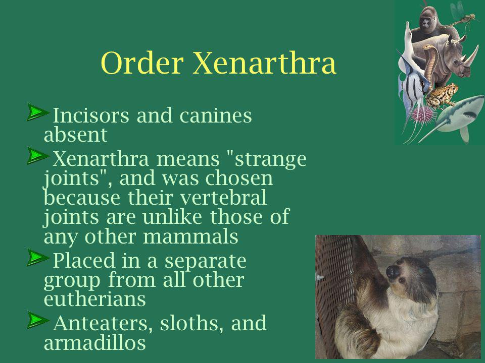 Order Xenarthra Incisors and canines absent