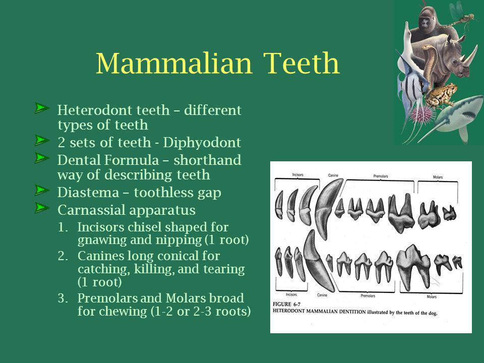 Mammalian Teeth Heterodont teeth – different types of teeth