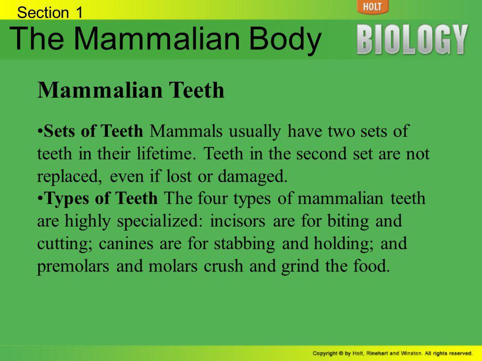 The Mammalian Body Mammalian Teeth