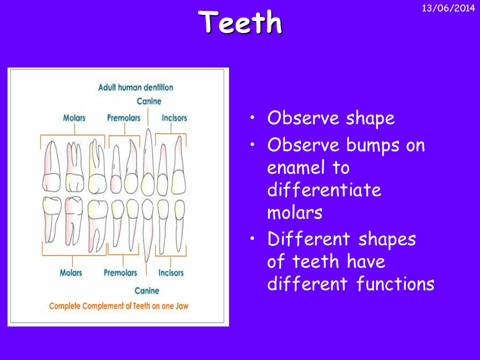 Teeth Observe shape Observe bumps on enamel to differentiate molars