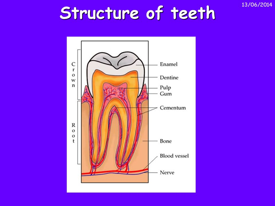 Structure of teeth 01/04/2017