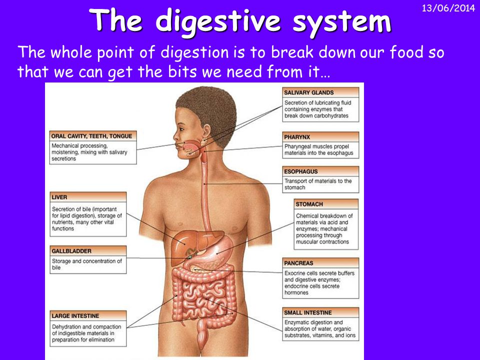 The digestive system 01/04/2017.