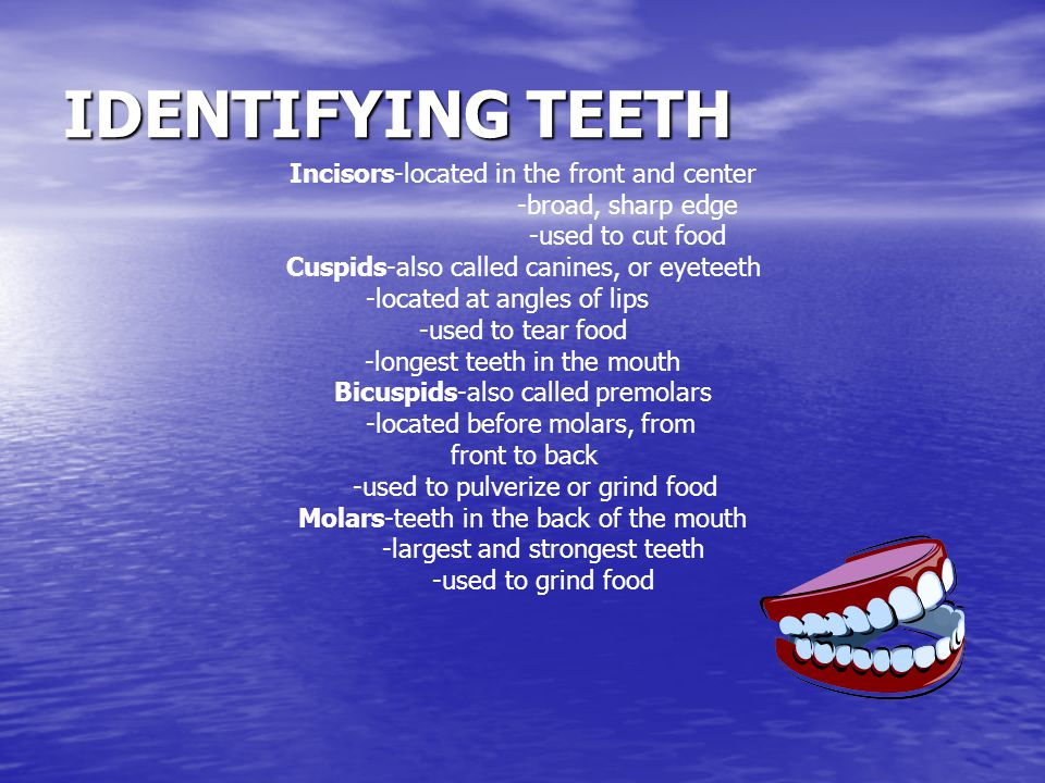 IDENTIFYING TEETH Incisors-located in the front and center