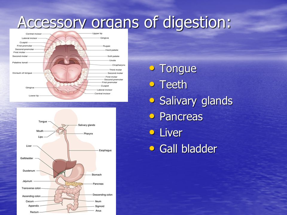 Accessory organs of digestion: