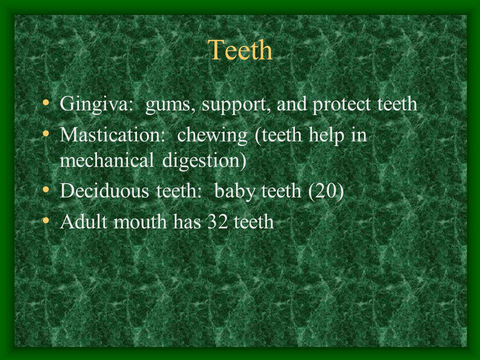 Teeth Gingiva: gums, support, and protect teeth