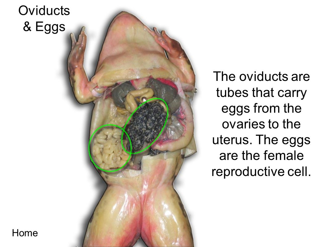 Oviducts & Eggs. The oviducts are tubes that carry eggs from the ovaries to the uterus. The eggs are the female reproductive cell.