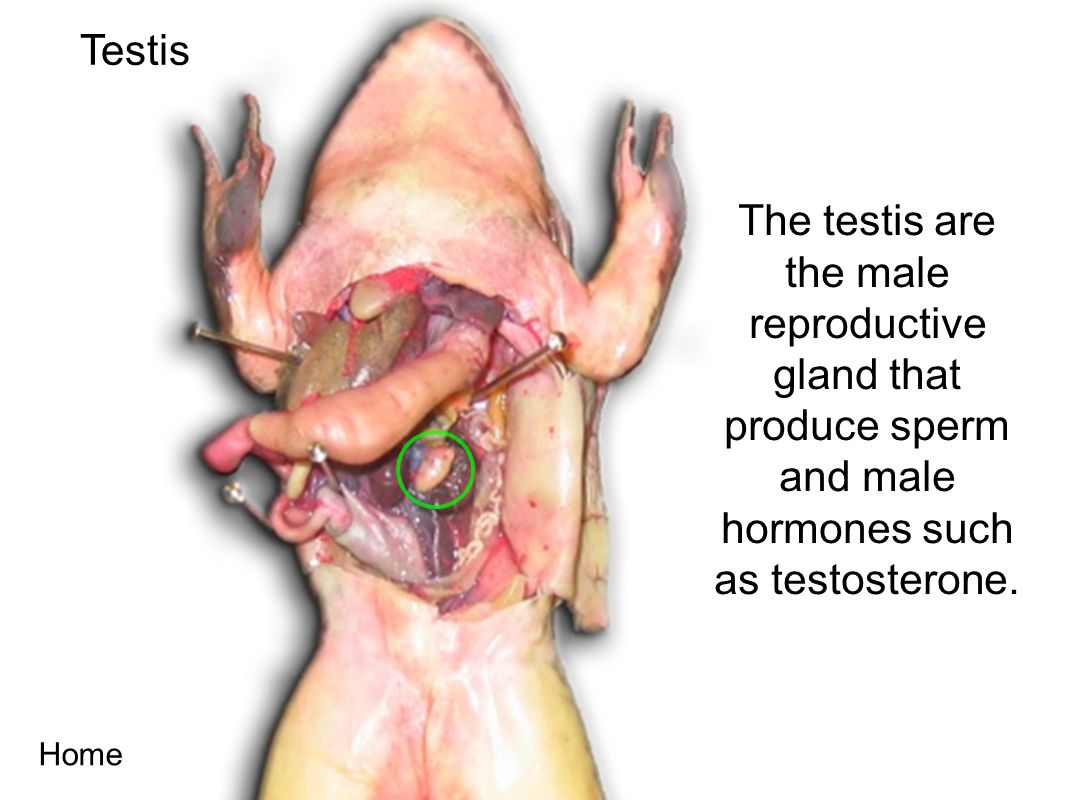Testis The testis are the male reproductive gland that produce sperm and male hormones such as testosterone.