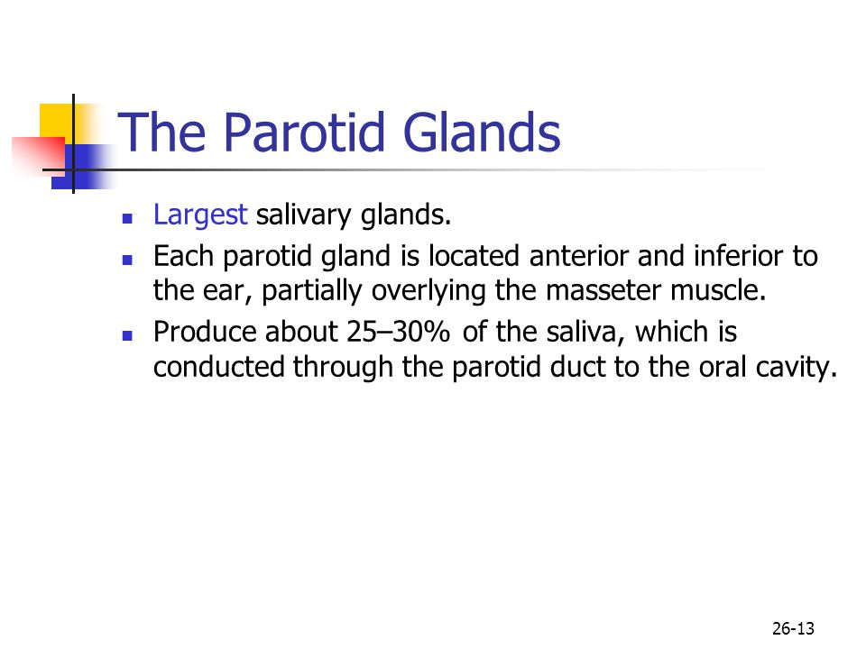 The Parotid Glands Largest salivary glands.