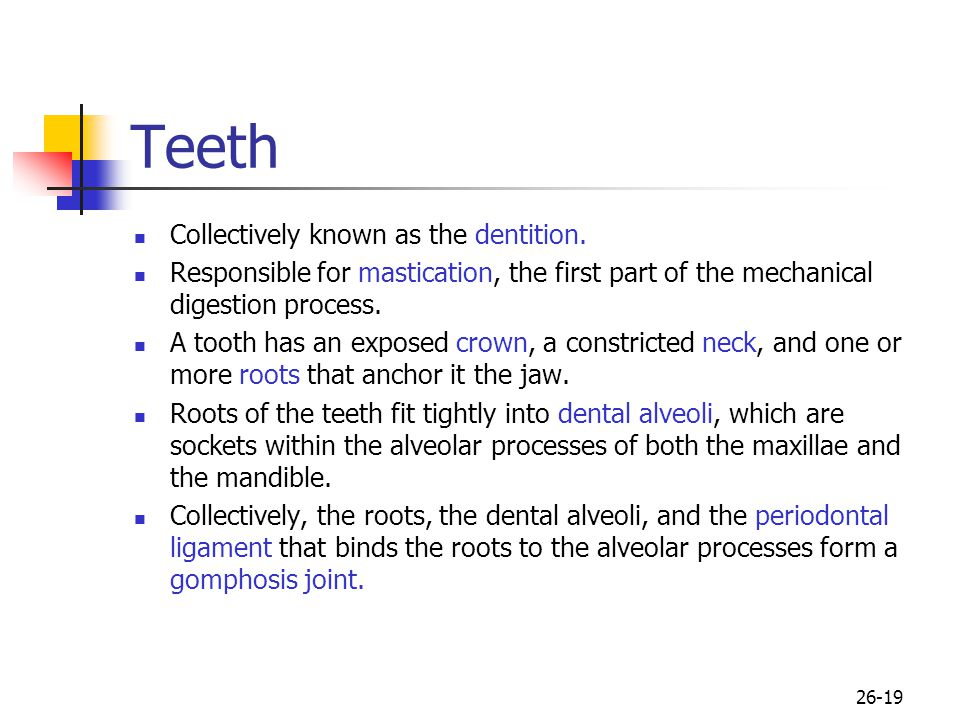 Teeth Collectively known as the dentition.