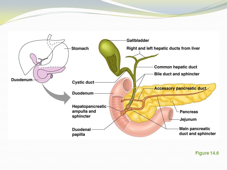 Pancreas Figure 14.6