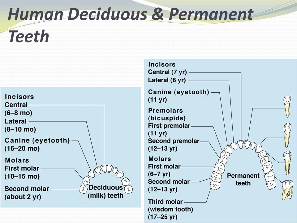 Human Deciduous & Permanent Teeth