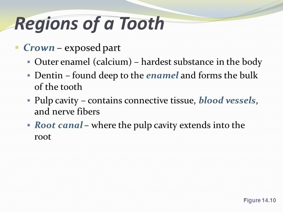 Regions of a Tooth Crown – exposed part
