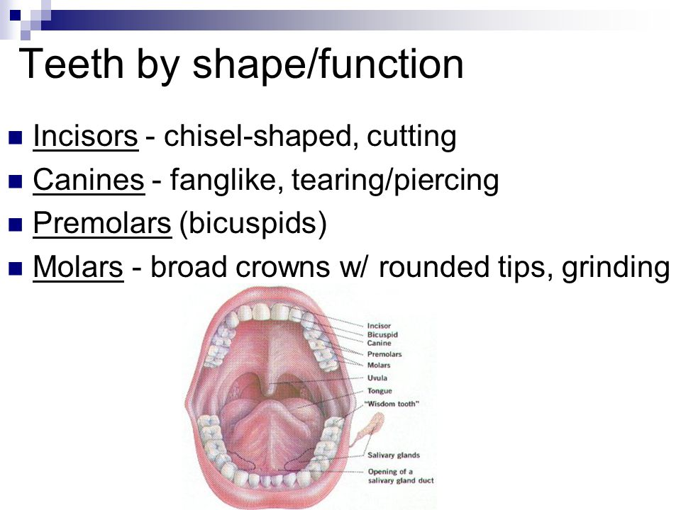 Teeth by shape/function