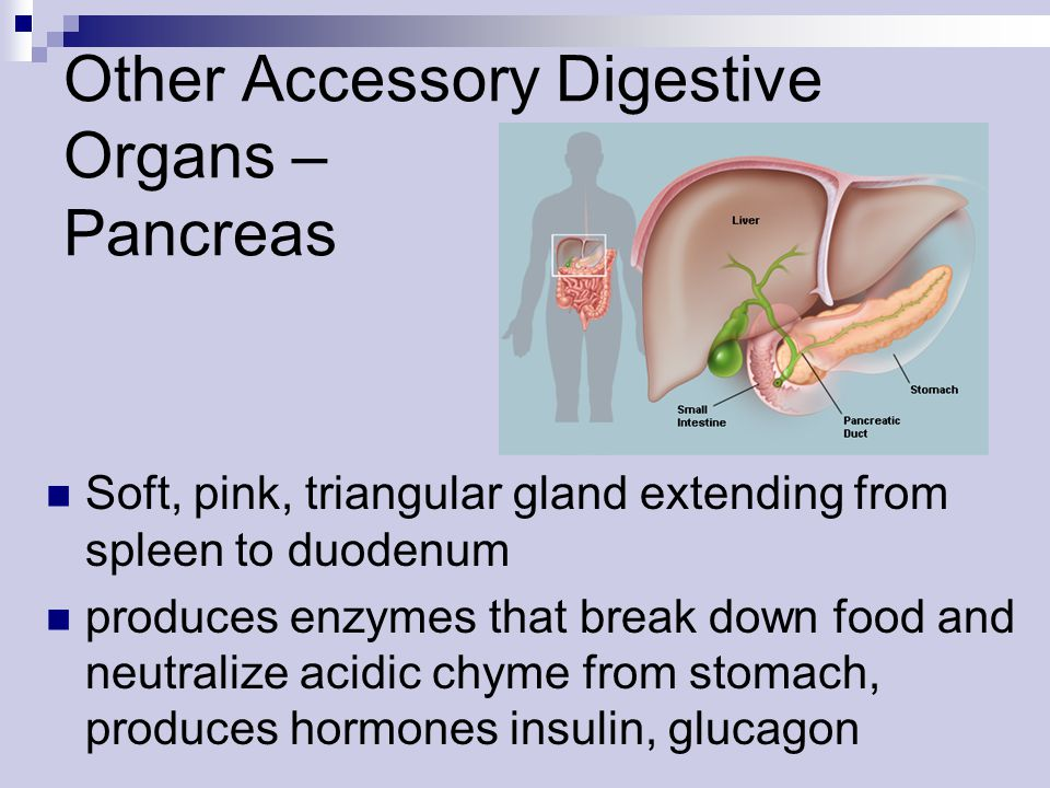 Other Accessory Digestive Organs – Pancreas