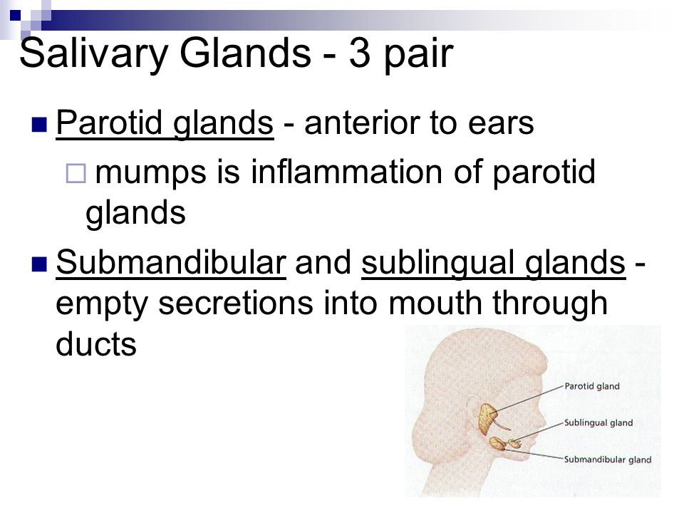 Salivary Glands - 3 pair Parotid glands - anterior to ears
