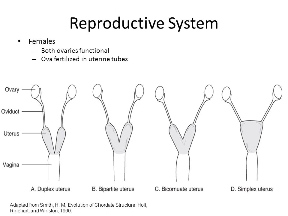 Reproductive System Females Both ovaries functional