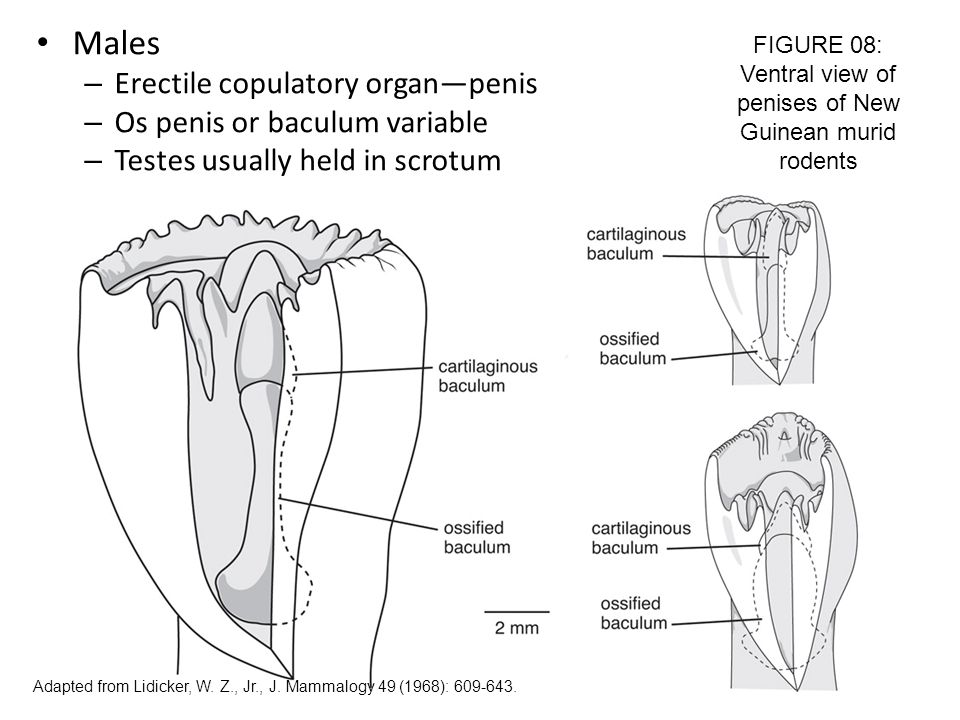 FIGURE 08: Ventral view of penises of New Guinean murid rodents