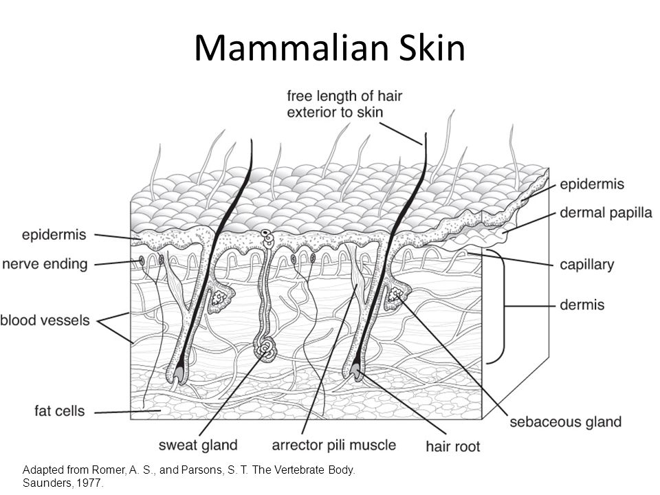 Mammalian Skin Adapted from Romer, A. S., and Parsons, S. T. The Vertebrate Body. Saunders, 1977.