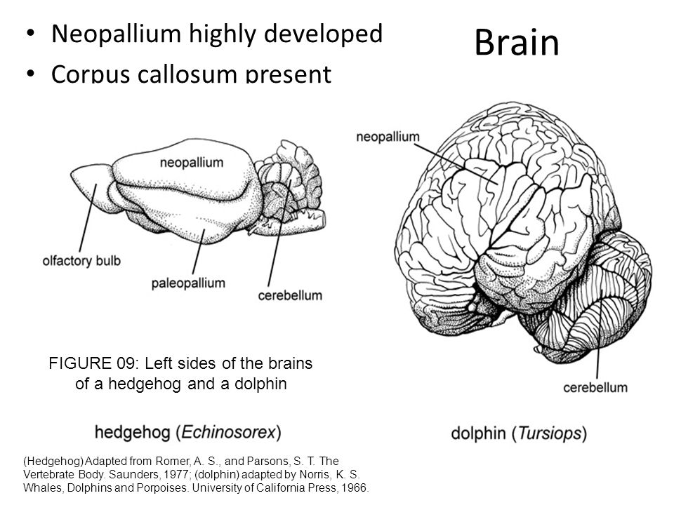 FIGURE 09: Left sides of the brains of a hedgehog and a dolphin
