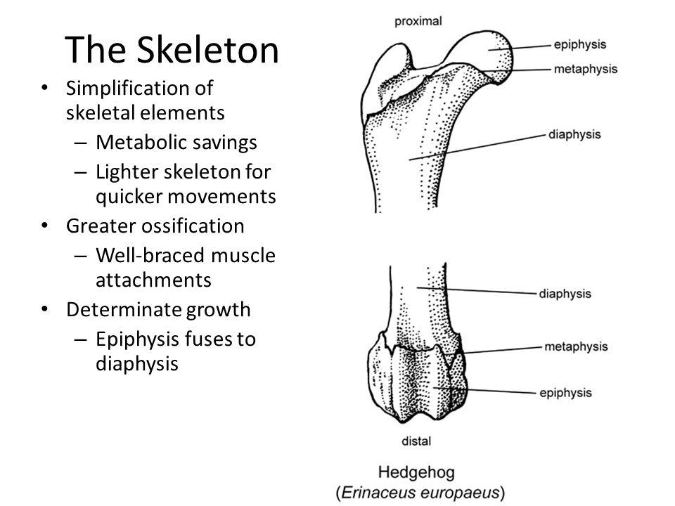 The Skeleton Simplification of skeletal elements Metabolic savings