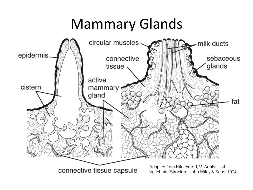 Mammary Glands Adapted from Hildebrand, M. Analysis of Vertebrate Structure.