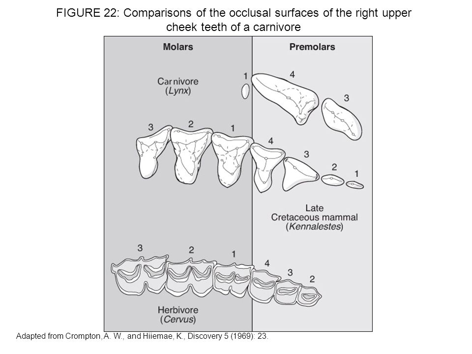 FIGURE 22: Comparisons of the occlusal surfaces of the right upper cheek teeth of a carnivore
