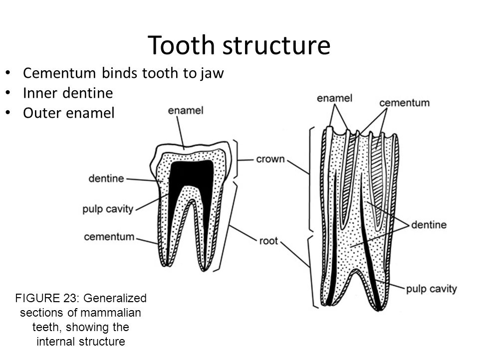 Tooth structure Cementum binds tooth to jaw Inner dentine Outer enamel