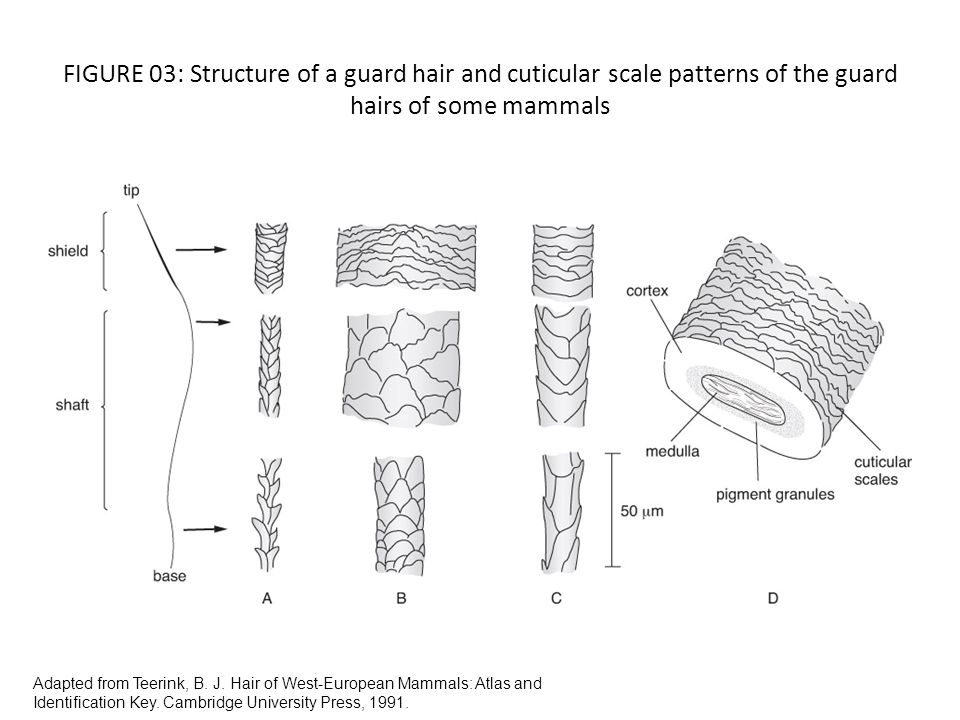 FIGURE 03: Structure of a guard hair and cuticular scale patterns of the guard hairs of some mammals