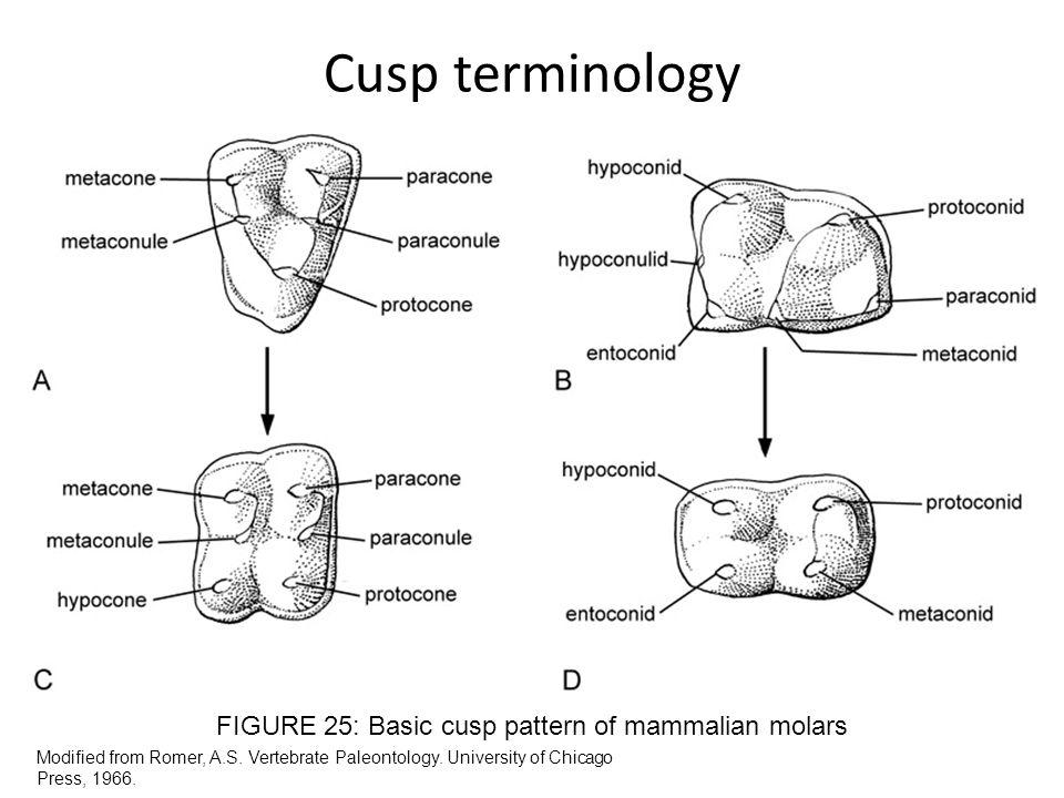 FIGURE 25: Basic cusp pattern of mammalian molars