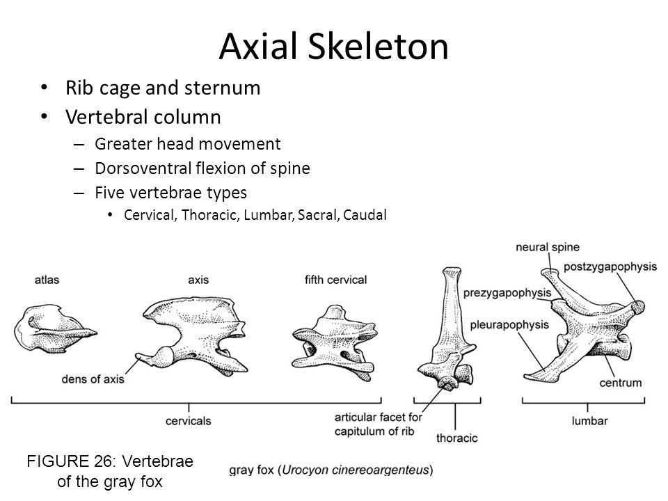 FIGURE 26: Vertebrae of the gray fox