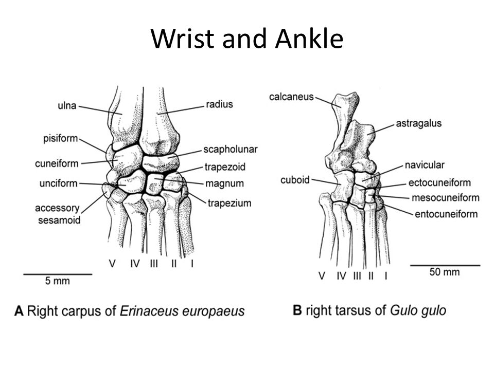 Wrist and Ankle