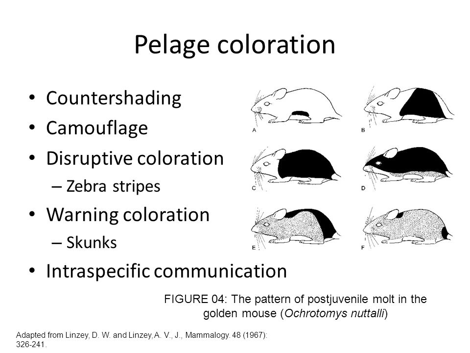 Pelage coloration Countershading Camouflage Disruptive coloration