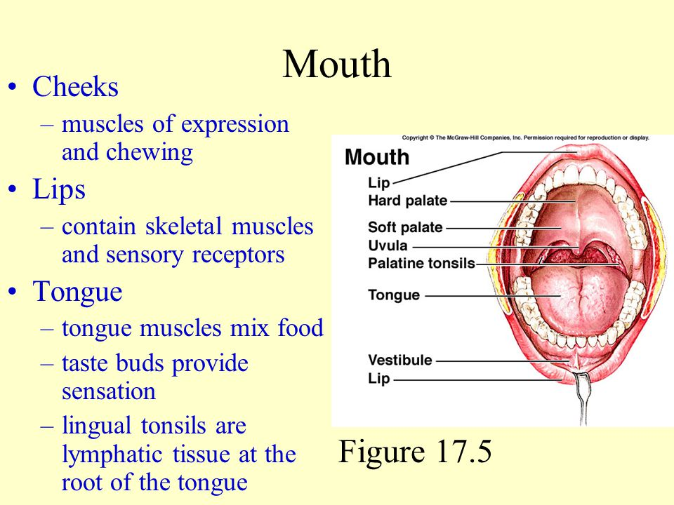 Mouth Figure 17.5 Cheeks Lips Tongue muscles of expression and chewing