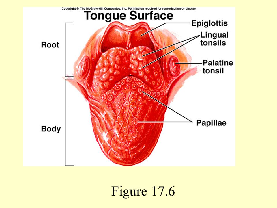 serosa of tonsil image collections